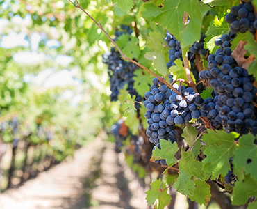 Worms and Wine? Fetzer Vineyards First to Adopt Innovative Wastewater Treatment System to Save Water / Combat Climate Change